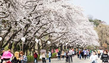 005-벚꽃축제02.png