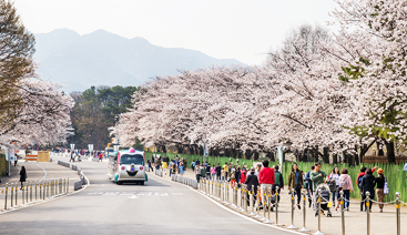 004-벚꽃축제-01.png